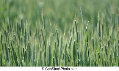green ears of wheat sway in the wind,agrarian landscape
