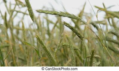 Green ears of wheat swinging in the wind