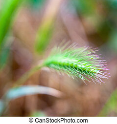 Green ears of wild cereal plant. Close-up.