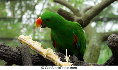 Eclectus parrot eat sugar cane - Green Eclectus parrot eat...