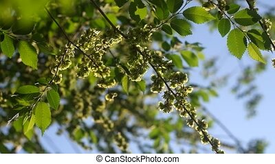 Green elm seeds covering twigs against sky footage
