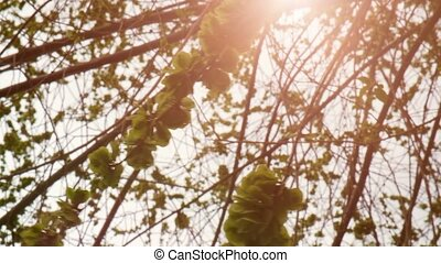 Green elm seeds covering twigs with flickering sun - Elm...