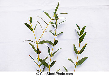 Green eucalyptus leaves on sprigs, white background