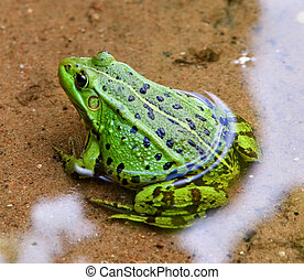 Green European frog in water