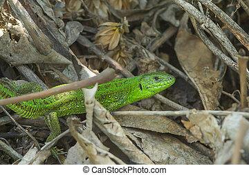 green European lizard Lacerta viridis - green European...