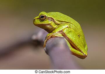 Green European tree frog - Side view of a European tree frog...