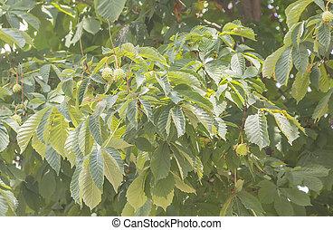 Green even chestnut fruits