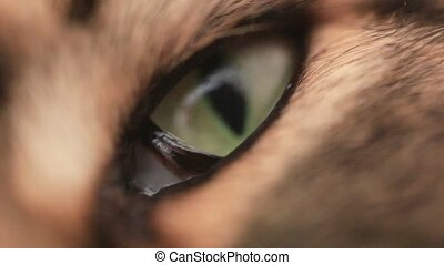 Green eye of Maine Coon black tabby cat in macro.