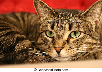 A close up of a tabby cat with green eyes