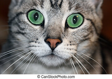 Green Eyed Cat - Gorgeous silver tabby cat with emerald...