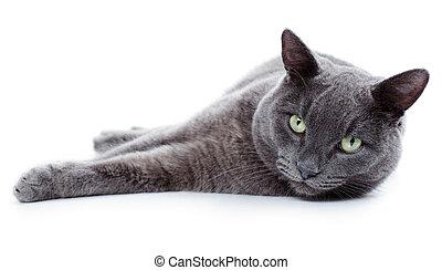 Green eyed Maltese cat