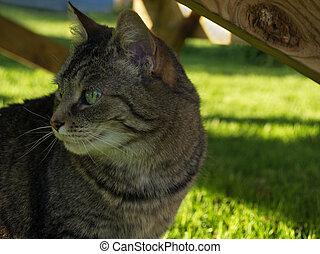 Green-eyed tabby cat - alert tabby housecat, outdoors in...