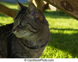 Green-eyed tabby cat - alert tabby housecat, outdoors in...