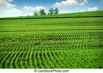 Green farm field in spring