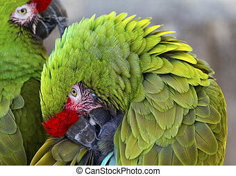 Green Feathers Military Macaws