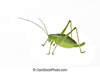 Green female bush-cricket ( long horned grasshopper)