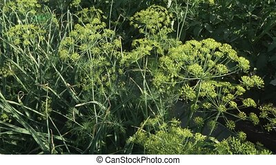 Green fennel ripens on garden bed - Green fennel ripens on...