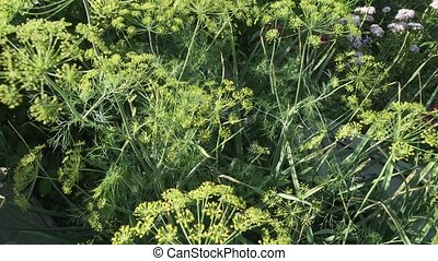 Green fennel ripens on garden bed stock footage video -...