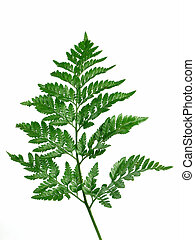 Green Fern - Christmas tree shaped green fern isolated over...