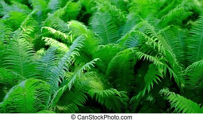 Green fern in tropical forest.