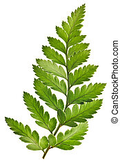Green Fern Isolated - Green Fern Leaf Isolated on White...
