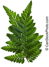 green fern leaf isolated - green leaf isolated on a white...