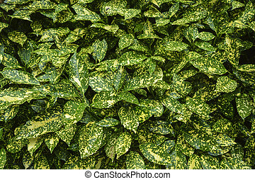 Green ficus bush with yellow patches