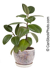 green ficus in the pot on a white background