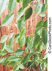 Green ficus leaves on a wooden wall background.
