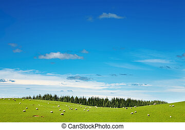 New Zealand landscape, green field and grazing sheep