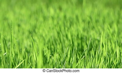 Green field - Beautiful green and fresh grass growing in the...