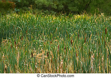 Green field full of Typha flowering plants, also called bulrush, reedmace, cattail, corn dog grass