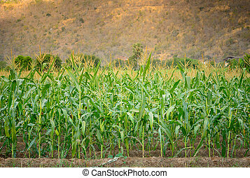 green field of corn at moutain background - A green field of...