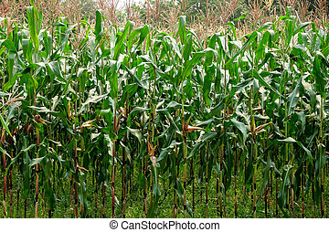 green field of corn growing up in farm