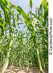 Green field of corn growing up in farmland