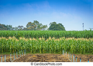 green field of corn with  water system