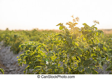Green field of potato crops in a row. Agriculture. Growing of potato. Organic natural product.
