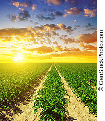 Green field of potato crops in a row.