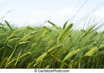 Green field of wheat.