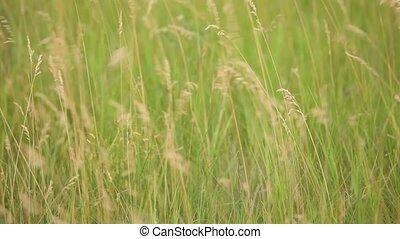 Green field  - Wind blows in the green field