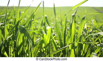 green field - green grain moving in the wind