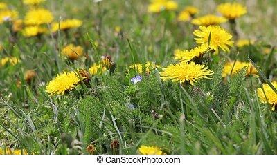 Green field with dandelions
