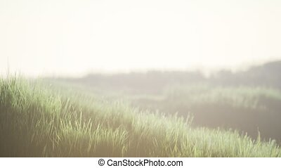 Green field with tall grass in the early morning with fog