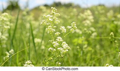 green field with white flowers - Green field with white...