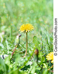 Green field with yellow dandelion. Closeup of yellow spring flower on the ground.