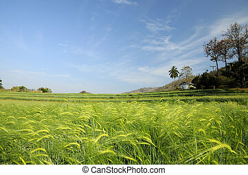 Green fields of barley at Chaingmai
