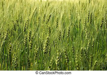 Green fields of barley