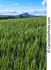 Green fields of wheat in Eastern Washington state