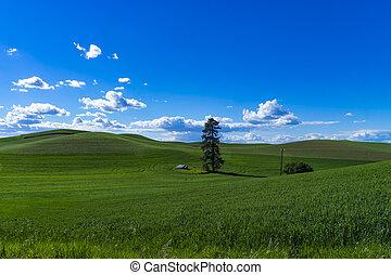 Green fields of wheat in Washington state