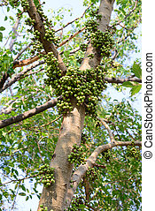 Green fig fruits on tree in forest.